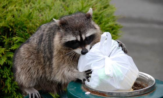 Raccoon Receives Diploma, Leftover Pizza