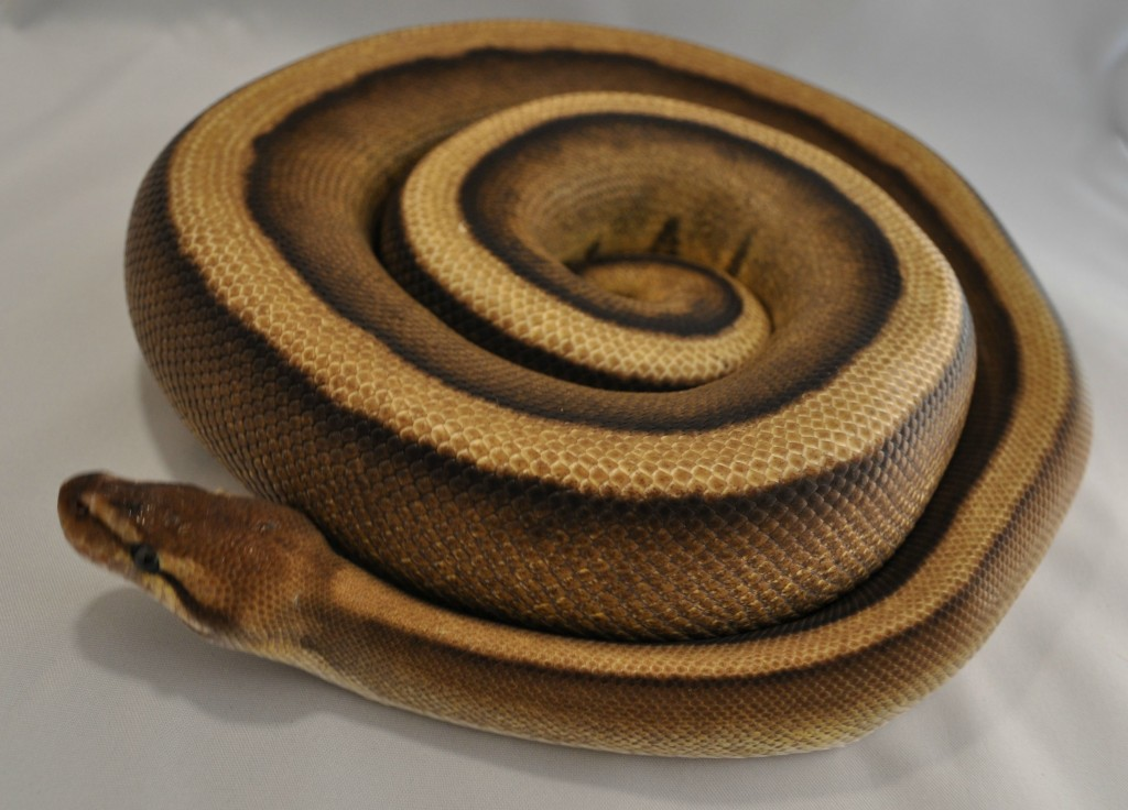 Report: Anaconda Wants Some, Buns Notwithstanding