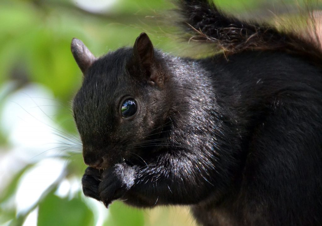Student from Maine Surprised by How Many Black Squirrels There Are on Campus