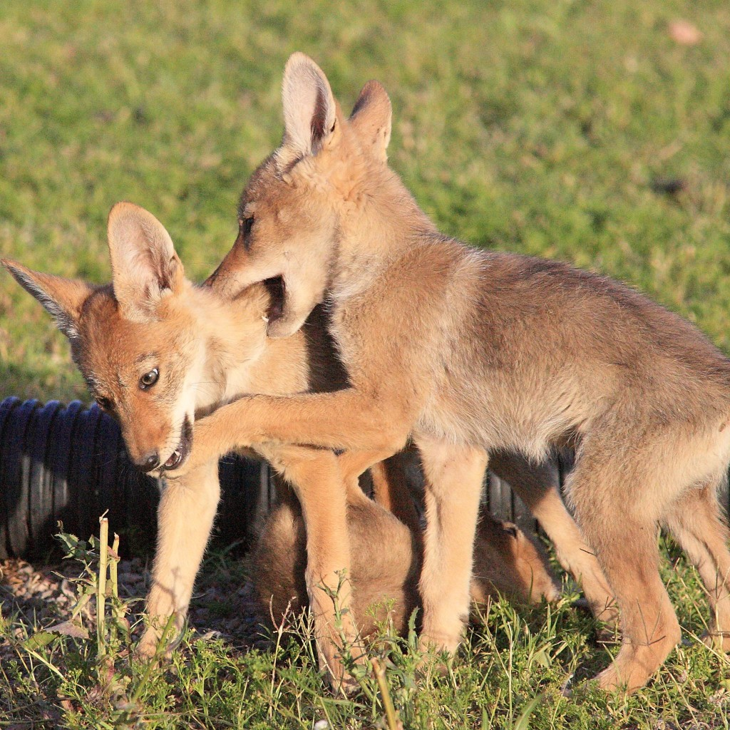Stanford Study Finds Complex Social Dynamics Amongst Coyotes