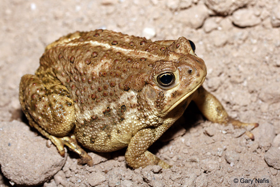 Toad With Pronounced Cranial Crest And Oversized Parotid Gland Going To Fuck Tonight