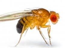 Newborn Fruitfly Has Midlife Crisis