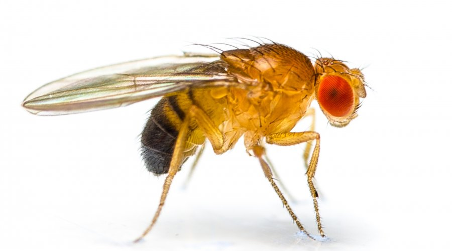 Newborn Fruitfly Has Midlife Crisis