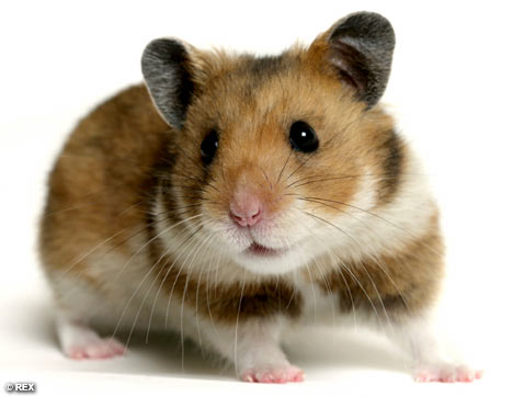 Average American Eats Five Hamsters While Sleeping