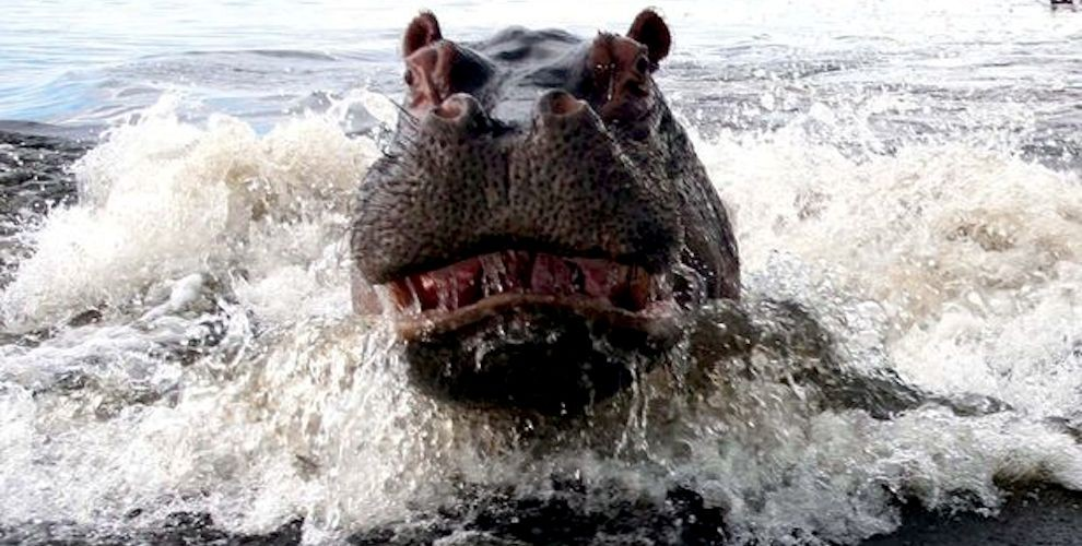 Report: Hippopotami More Frightening Than Ghosts