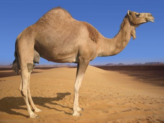 Camel Complains About Dry Hump