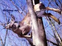 Flightless deer falls out of tree