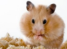 pets, mammal, sawdust, hamster, animal, rodent, fur, whisker, cute, paw, animals, domestic, close-up, fluffy, small, brown, hair, yellow, curiosity, mouse, paper, house, nose, female