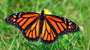 Monarch Butterfly Rules With Iron Wing