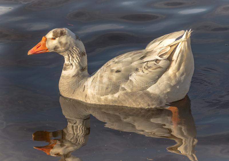 Duck Ass got no Binnis Bein' this BOUNCY