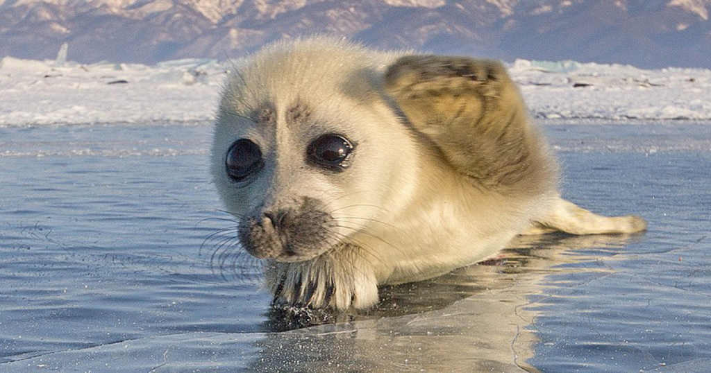 Arrillaga Dining Adds Baby Seal to Menu in Honor of Family Weekend