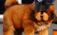 Heckin Big Floof Sicced on Protesters; 11/10 Good Doggo