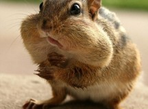 Local Squirrel Puts Nuts in Mouth