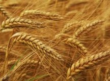 """Arrillaga Grain-Name-Maker-Upper Pretty Confident that Nothing will Ever Top """"Kamut"""""""